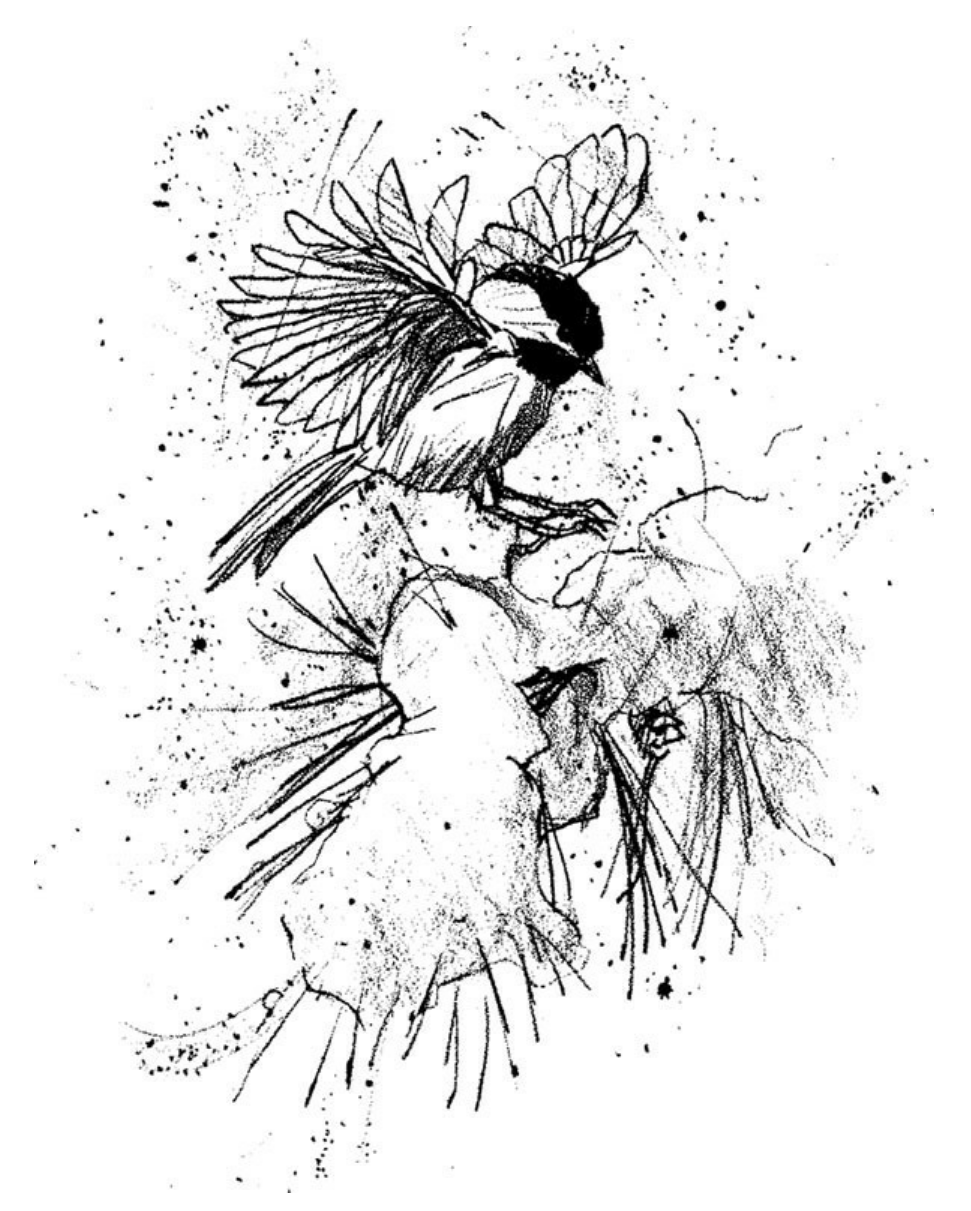 Sketch by Glen Loates, of a chickadee landing on a snowy pine branch